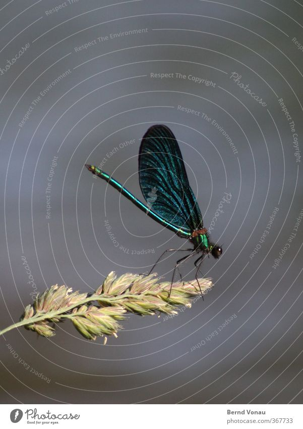Calopteryx virgo Plant Brook Animal Dragonfly 1 Sit Banks of a brook Wing Blue Sideways Insect Demoiselles Nature Exterior shot Colour photo Close-up