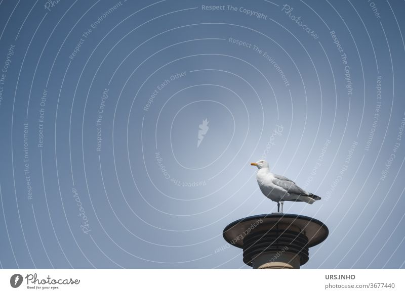 the seagull is standing on a street lamp and looks into the distance - what he is looking for he does not give away - in any case he has the overview high up - illuminated by the sun he looks like a statue in the spotlight