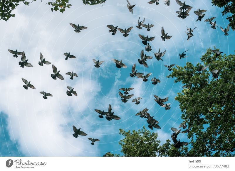 the doves fly in flocks pigeons Flock Sky Clouds birds Flying Flock of birds Wild animal Animal Group of animals Freedom