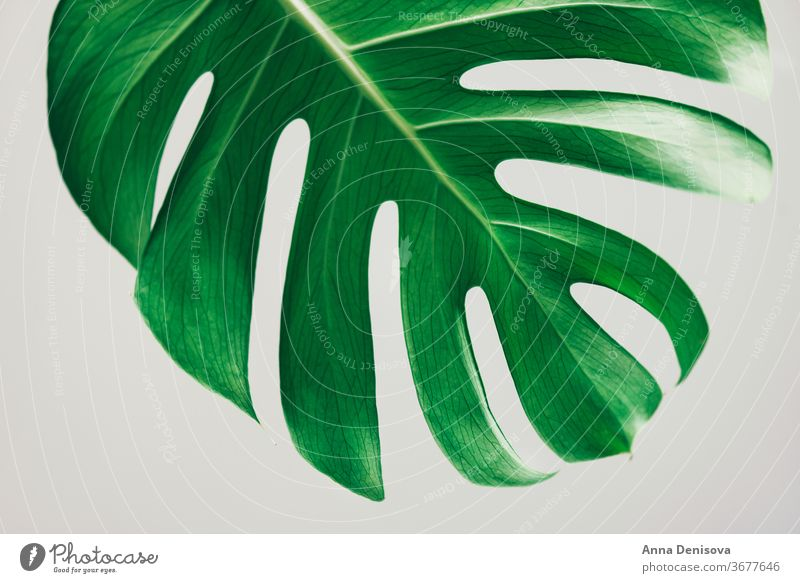 Real monstera leaves leaf plant garden jungle foliage tropical nature floral green pattern wallpaper decor exotic botany natural decoration trendy botanical