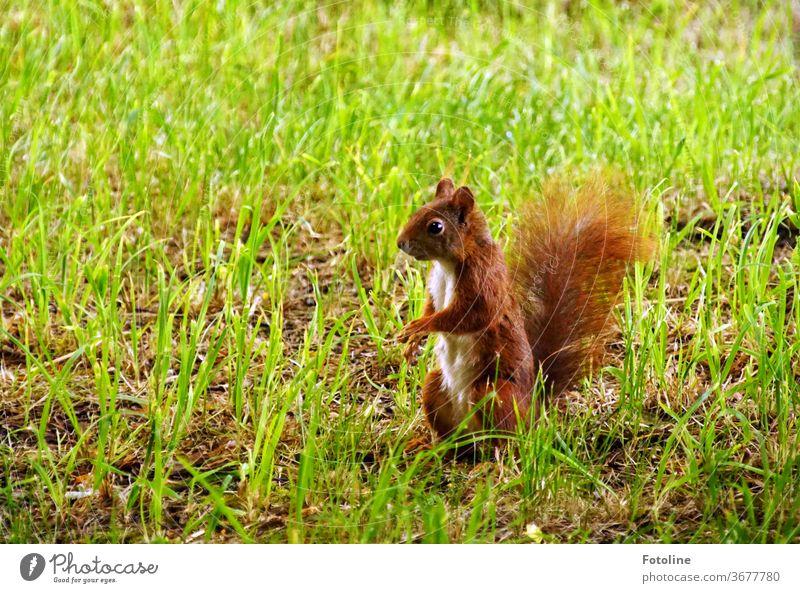 A small squirrel observes its surroundings very carefully Squirrel young animal Animal Nature Cute Colour photo 1 Wild animal Exterior shot Deserted Day Brown