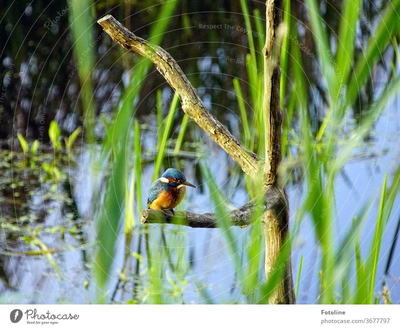 Mr Fischer, Mr Fischer, how deep is the water? - the little iceman sits on a branch and observes the underwater world. He waits for a tasty fish kingfisher