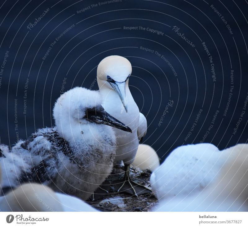 Gannets with offspring Ocean Water Waves Blue Sky Clouds Vacation & Travel Coast Summer Deserted Beautiful weather Nature Far-off places Colour photo