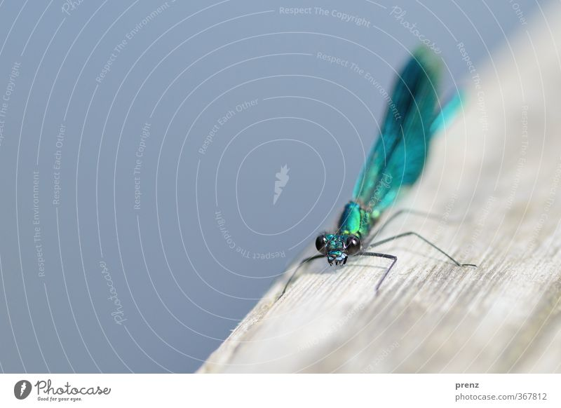 magnificent dragonfly Environment Nature Animal Summer Beautiful weather Wild animal 1 Blue Gray Demoiselles Dragonfly Insect Colour photo Close-up