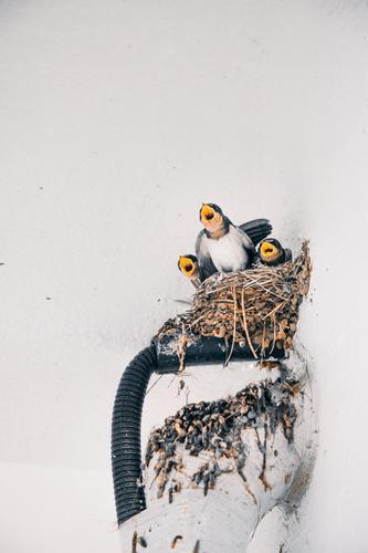 Young birds chirping as their mother returns Bird Nest young animal Animal Nature Baby animal Animal portrait Environment Chick Wild animal Cute Beak Korea