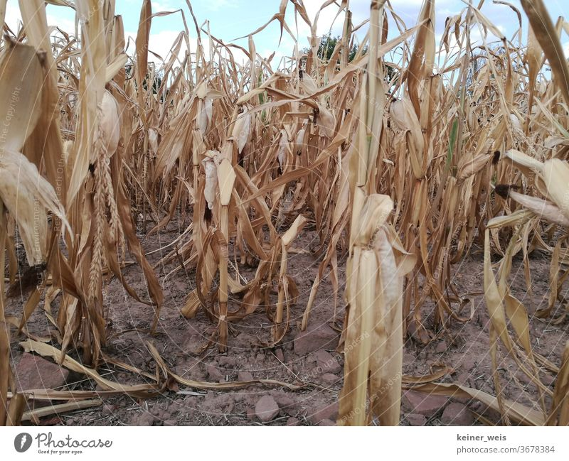 Withered cornfield in the heat summer - drought prevails in the country Maize field Field Drought ardor aridity heat wave crop failure Agriculture Harvest