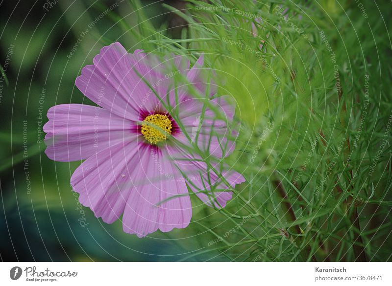 Close-up of a pink Cosmea blossom. Cosmos composite bleed flowers Pink Delicate green Garden Summer Nature petals background do gardening