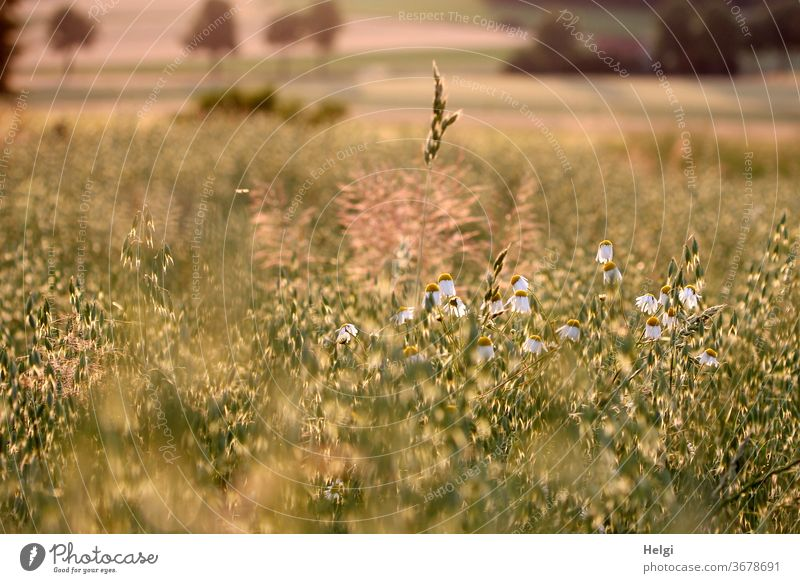 Evening sun - grain field with oats, chamomile and grasses in the evening light Grain field Cornfield Oats Chamomile huts Back-light Sunlight Moody evening mood