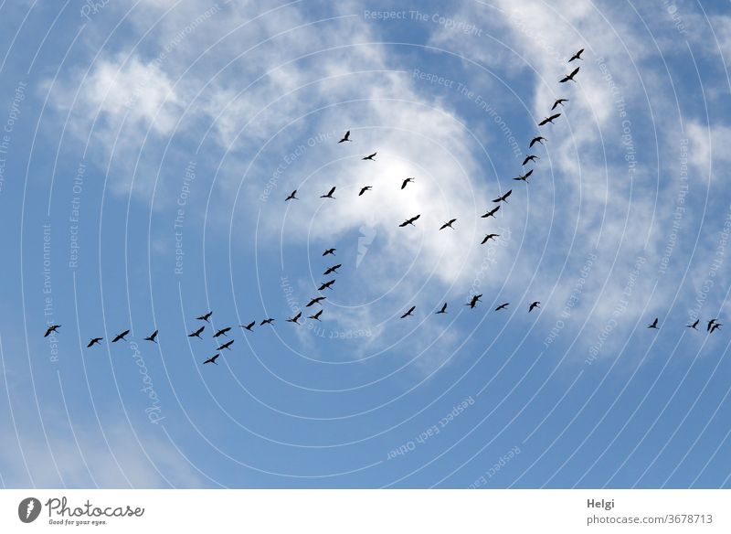 many cranes fly in front of blue sky with clouds | anticipation Cranes birds Many Migratory bird bird migration Sky Clouds Flying Flock Exterior shot Nature
