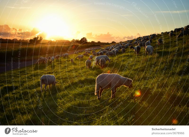 Eating sheep at sunset Dike Sunset Sheep Farm animal Exterior shot Colour photo Herd Landscape Flock Deserted Group of animals Back-light Country life Sunbeam