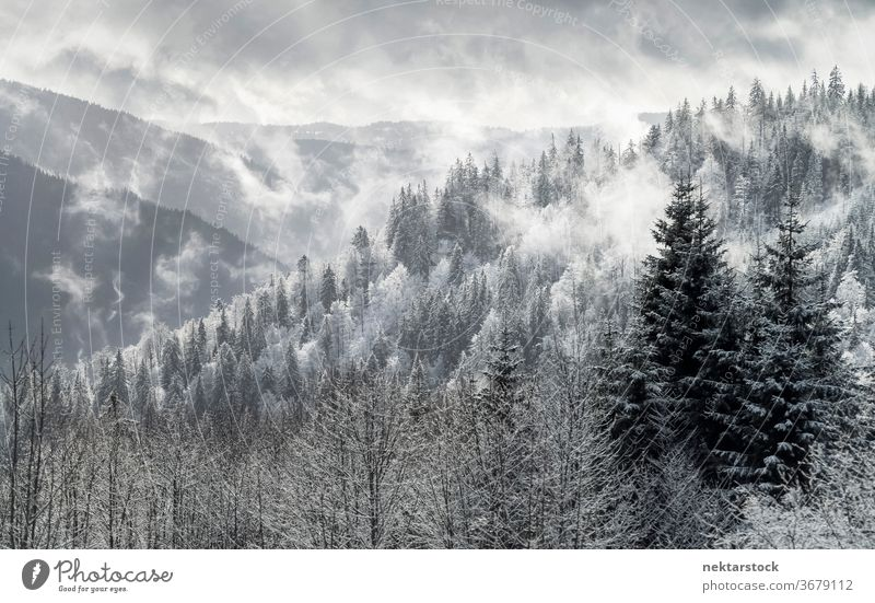 Pine Forest Winter Panorama in Black Forest Mountain Range snow mist cloud mountain pine panorama sky white grey winter pine forest Germany landscape