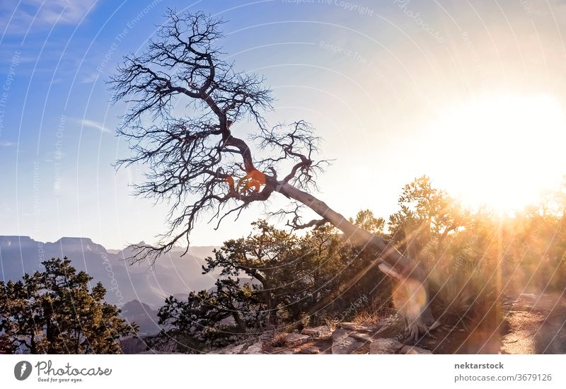 Inclined Tree over the Grand Canyon inclined sun grand canyon lens flare sunrise landscape sky flora no people nobody beauty in nature bare tree branch summer
