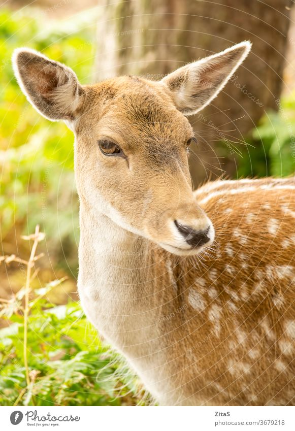 Fallow deer fallow female portrait animal mammal wild wildlife forest nature outdoor park cute closeup head herbivore beauty dama brown roe white spotted