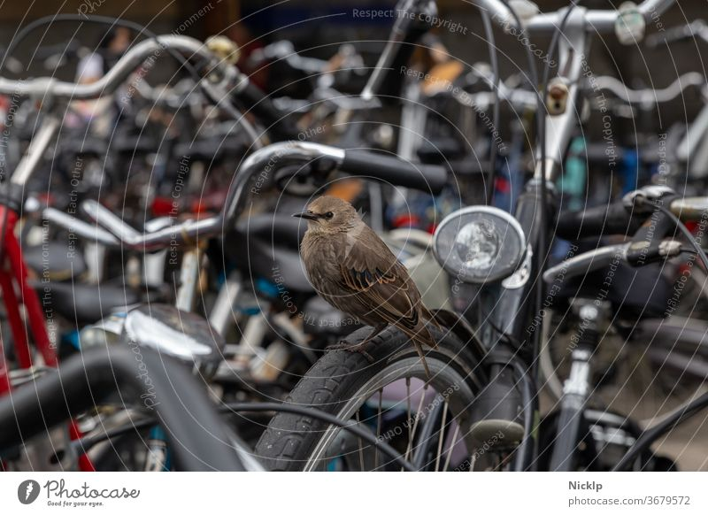 young bird star with brown plumage between parked bicycles in Amsterdam, near Amsterdam Central Starling birds youthful Brown Full-length Bicycle lot Mobility