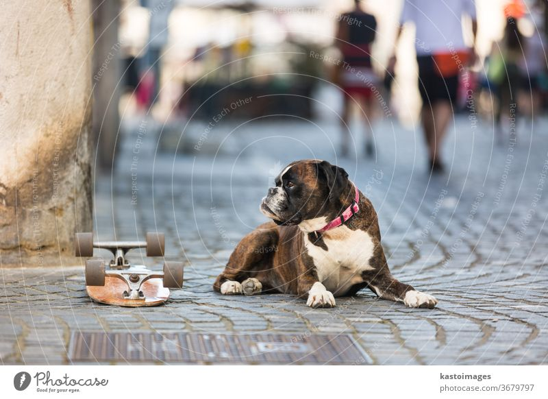 Beautiful german boxer dog wearing red collar, lying outdoors on the street guarding his owner's skateboard animal portrait domestic brown purebred pet adorable
