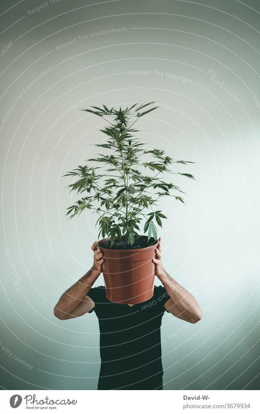 Man hides behind a marijuana plant Marijuana Marijuana buds Cannabis Cannabis leaf Cannabis plant thc drugs illicit legal Health care research Cancer Medication