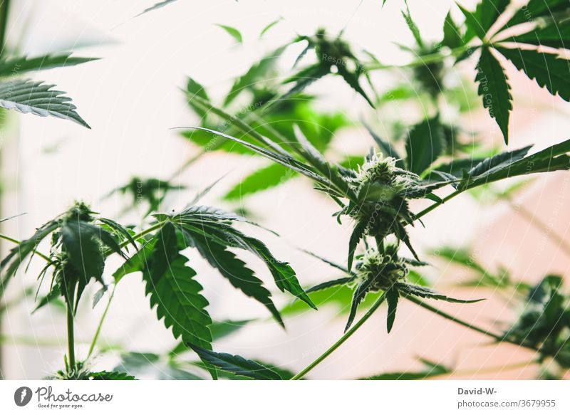 Marijuana buds shortly before harvest Cannabis Cannabis leaf Cannabis plant thc drugs illicit legal Health care research Cancer Medication