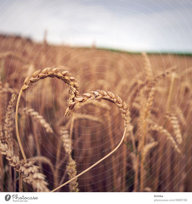 """Landliebe: Today with heart in the cornfield Heart Grain Cornfield Love Sincere Cordial Thanks to Grateful Gratitude congratulations from the heart Cereals"""""""