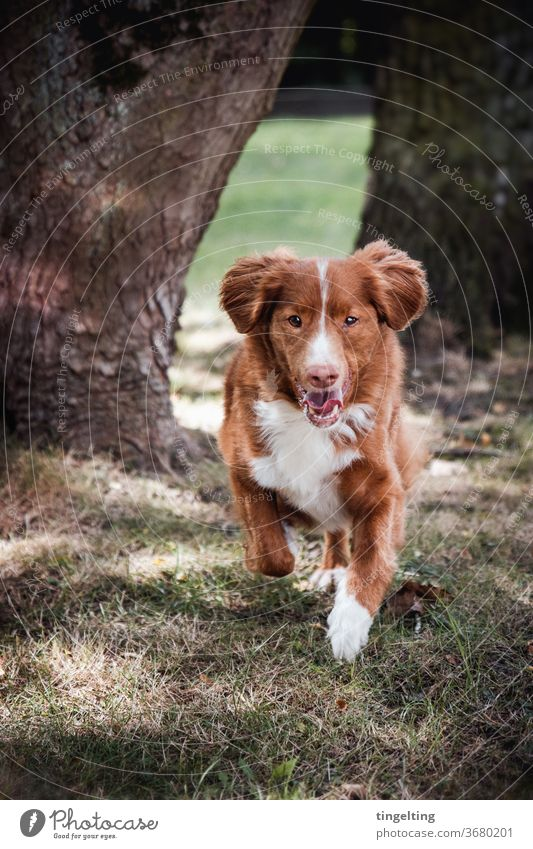 Nova Scotia Duck Tolling Retriever running portrait Animal portrait Dog Walking Running Forest huts Meadow fortunate Looking into the camera Copy Space top