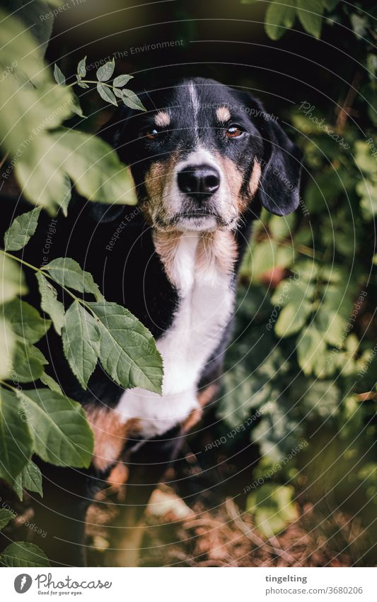 Appenzeller Mountain Dog in the forest Appenzell Mountain Dog Pet Forest huts leaves portrait Animal portrait Be confident Sweet well-behaved green Black