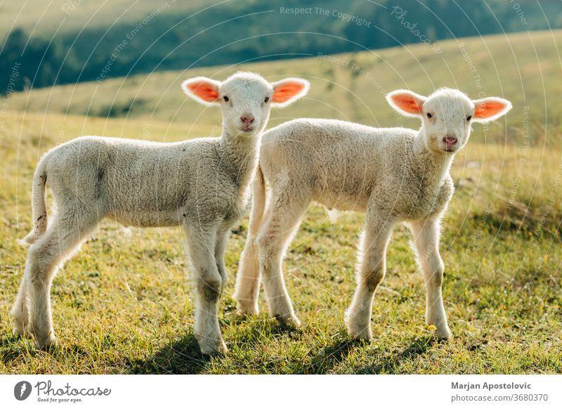 Two lambs on the meadow on a sunny day animal baby beautiful cheerful countryside cute domestic environment farm farming farmland field fluffy fur grass