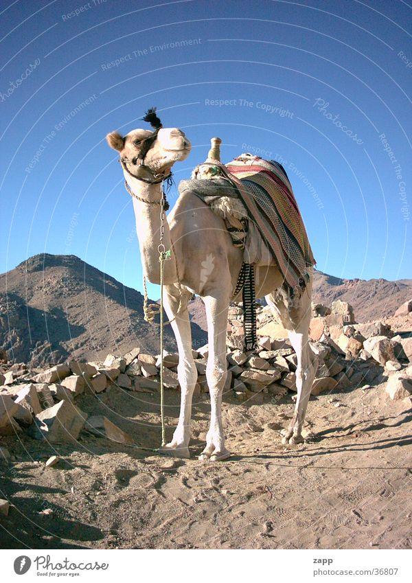 camel Egypt Camel Transport Blue mosesberg Desert Stone