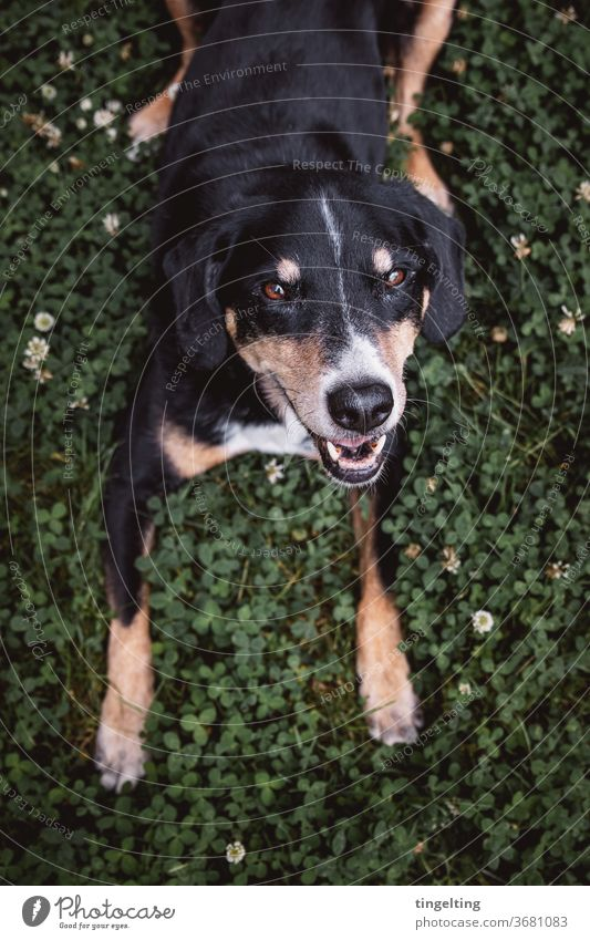 Appenzell Mountain Dog in clover Clover bleed Animal Pet Sweet dear Looking into the camera Copy Space bottom portrait Animal portrait fortunate without leash