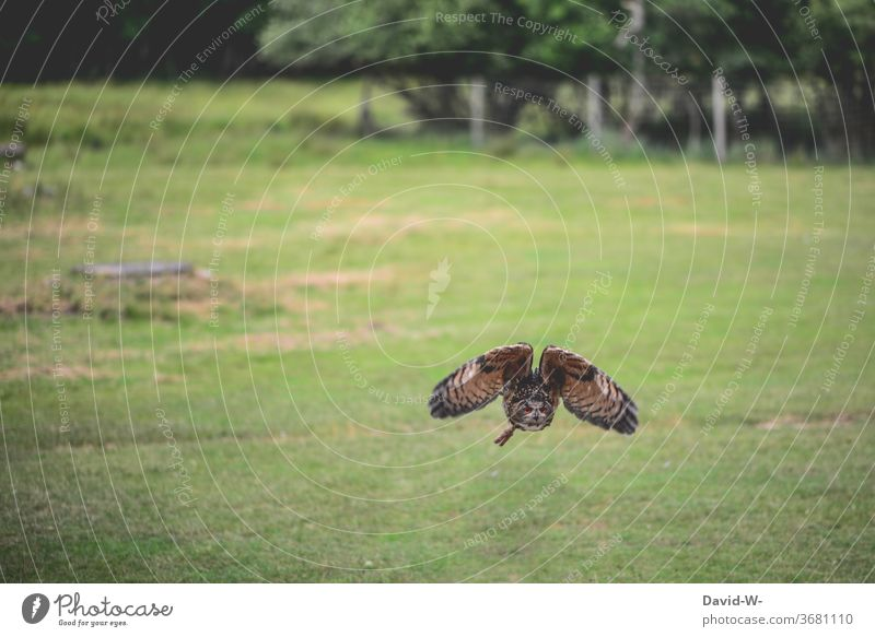 Owl in approach owl flies Flying Low-flying plane flight air traffic Airfield Animal birds Grand piano Floating Owl birds Owls great already out green