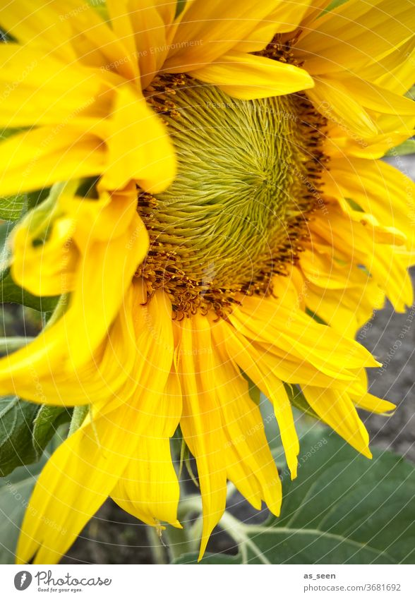 sunflower Sunflower bleed Yellow Summer Autumn inner Sunflower seed Sunflowers Plant Nature Exterior shot green Sunlight already natural Blossom leave flaked