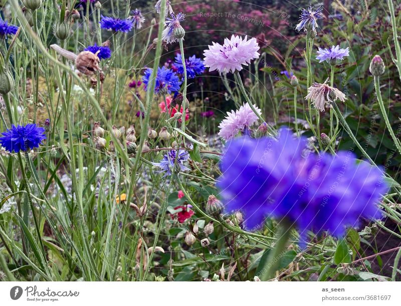 Flowers in the garden flowers Flower meadow Cornflower Margin of a field Field variegated purple Blue green Pink pink Summer summer meadow Wild Nature Plant