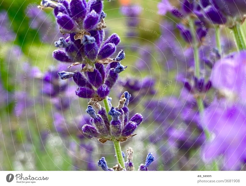 lavender Lavender purple Violet Plant bleed Nature Fragrance flowers Summer Colour photo Exterior shot Shallow depth of field Blossoming Garden Close-up green