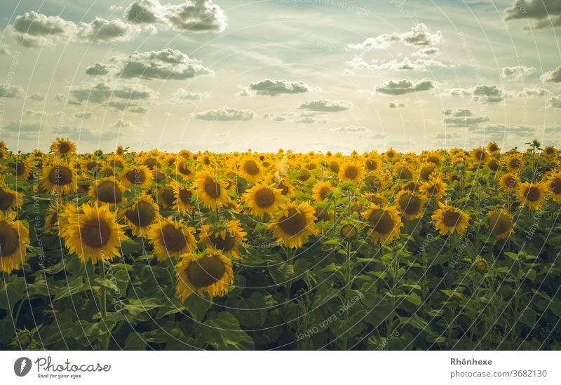 Sunflower field at sunset Sunset Nature Landscape Colour photo Exterior shot Environment Deserted Twilight Summer flowers Field Yellow Agricultural crop