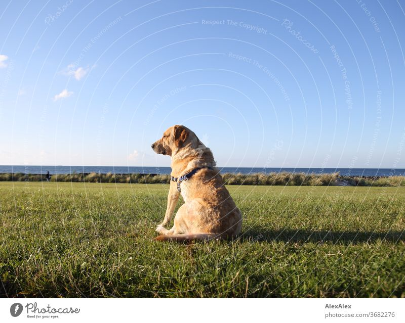 2000! - The best dog in the world - A blond Labrador sits on a meadow on the dyke in front of the Baltic Sea and looks into the distance Blonde Animal Dog Pet