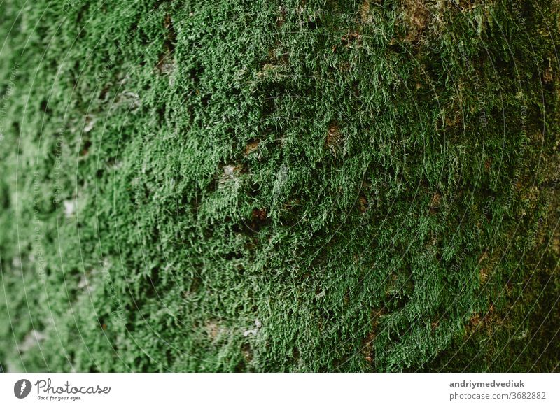 Close up of green moss on wood in the rainy season,selective focus,environment concept,copy space. Green bark on tree trunk close-up. Moss grows heavily on the bark of this tree