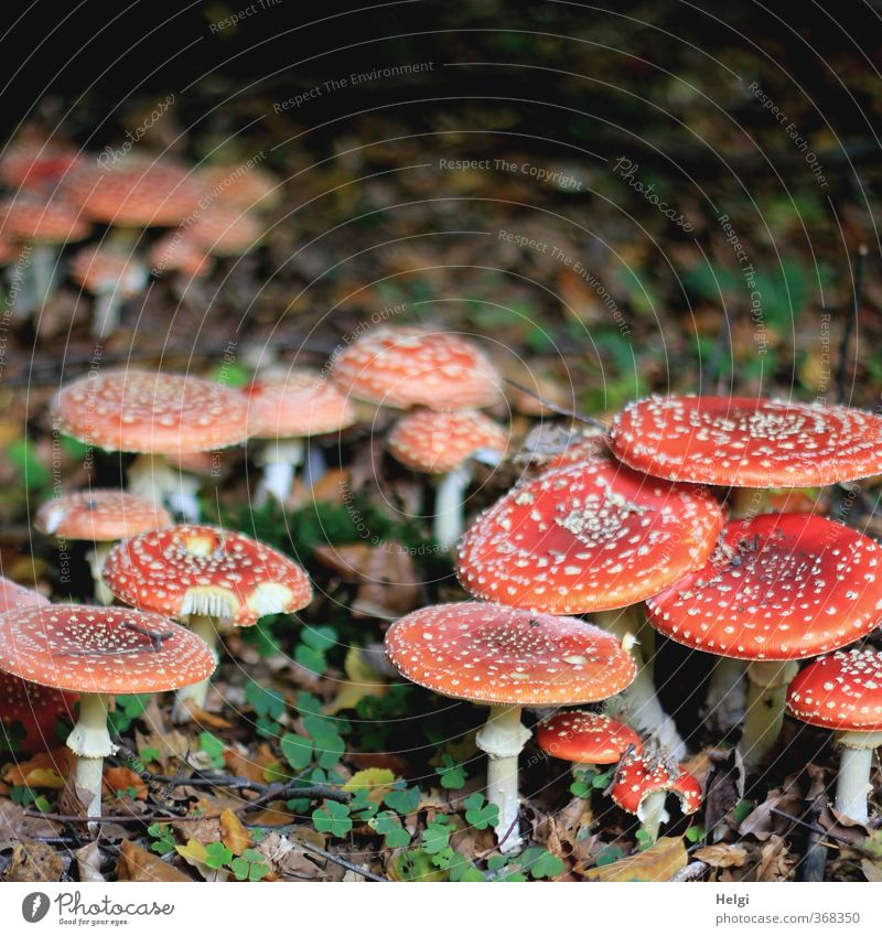 extended family Environment Nature Autumn Mushroom Amanita mushroom Forest Stand Growth Esthetic Authentic Exceptional Natural Round Gray Green Red White