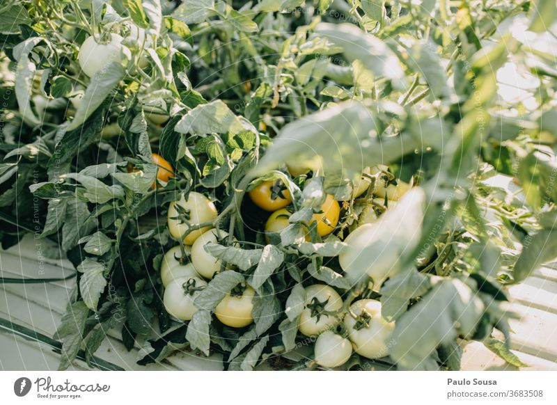 Tomato plant with fruits tomatoes Tomato plantation tomato plant Organic produce Organic farming Agriculture Agricultural crop Deserted Garden Exterior shot
