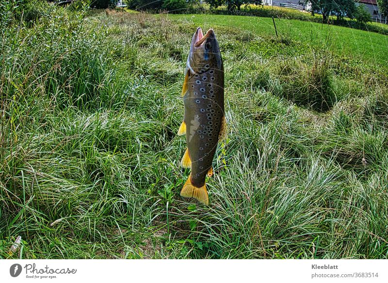 Brown trout on the hook Brown trout, Checkmark Trout Fish Fishing (Angle) Animal Fishery Sports Nutrition Catch Fresh Day Leisure and hobbies Food Exterior shot