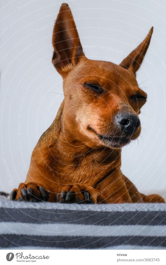 Rehpinscher Dog small dog Pet Animal Colour photo 1 Animal portrait Cute Day Deserted Animal face Love of animals Interior shot Flat (apartment) Calm Pelt