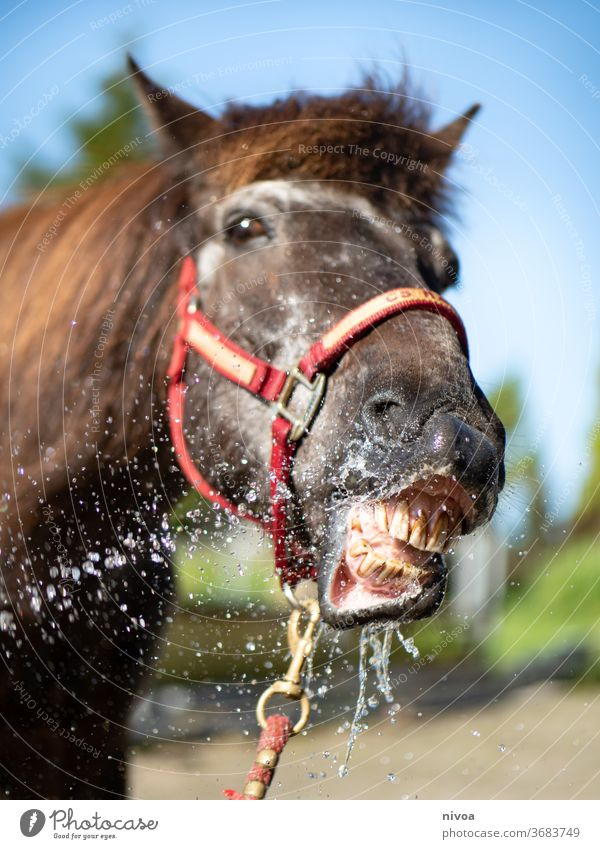 Icelandic horse showering its teeth Horse Colour photo Wild Vacation & Travel weather Exterior shot hof niederfeld freedom Teeth smile Water waterdrop landscape