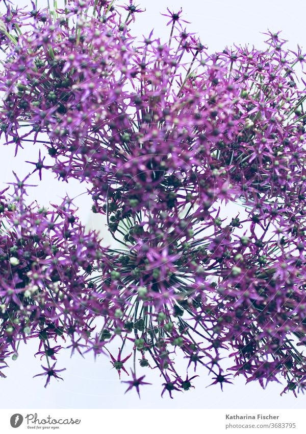 Allium Allium giganteum Nature Colour photo Violet Close-up Blossoming allium Day flowers Flower ornamental garlic Beautiful Macro (Extreme close-up) Esthetic