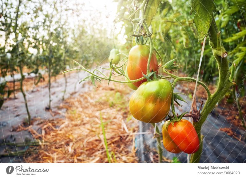 Ripening organic tomatoes in a greenhouse against the sun. vegetable farm ripen agriculture food horticulture growth fresh glasshouse nature healthy gardening