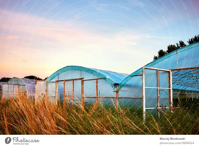 Row of greenhouses at purple sunset. agriculture sunrise production rural nature light horticulture vegetable sky industry growing gardening farming exterior