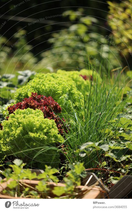 vegetable patch Vegetable bed Lettuce Garden green Extend Garden Bed (Horticulture) Gardening Vegetarian diet Organic produce Growth Fresh Food