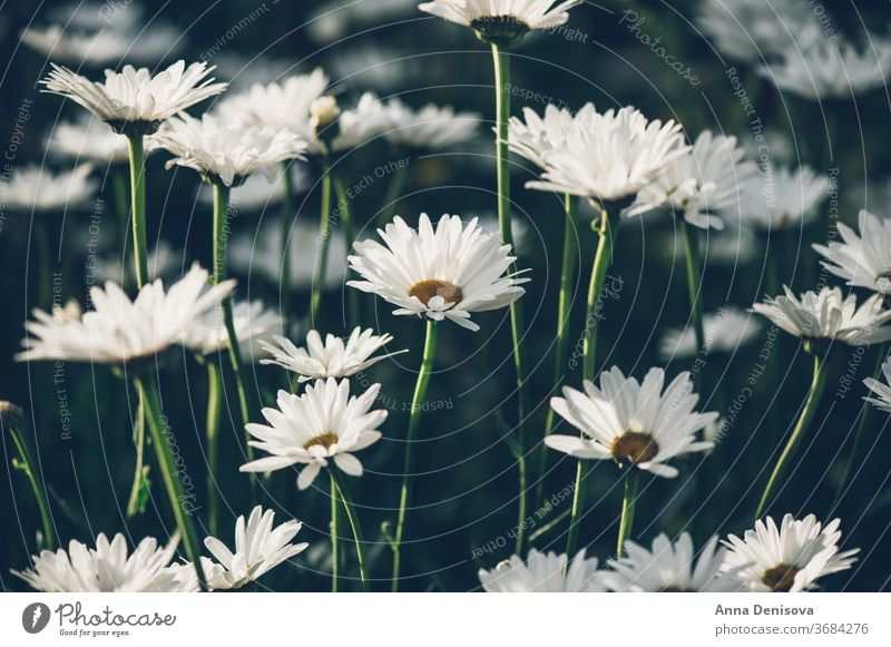 White camomiles daisy flowers chamomile garden fresh closeup background plant blossom nature white floral outdoor green herbal landscapes meadow