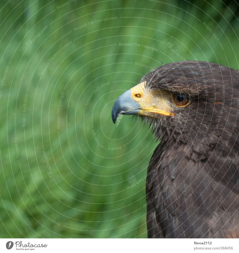 must be yes. Environment Nature Bird Animal face 1 Observe Looking Wait Aggression Esthetic Brown Love of animals Patient Bird of prey Beak Eyes Feather Hawk