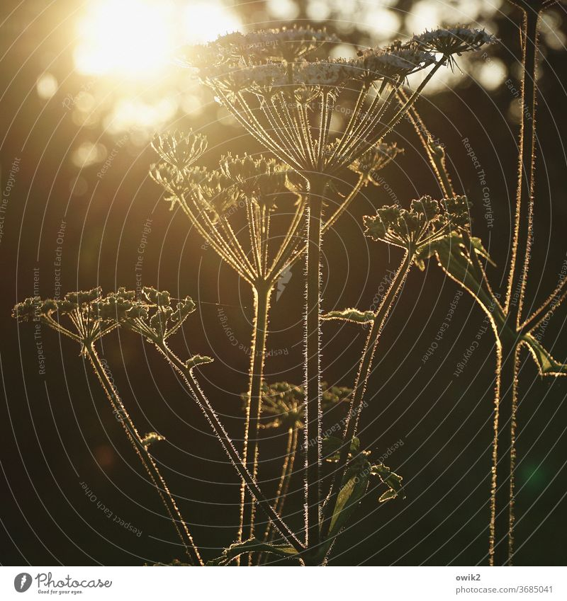 yarrow Back-light Luminosity Landscape spring Meadow Fragrance To enjoy Copy Space bottom Contentment Joie de vivre (Vitality) Wild Glittering Growth Shadow