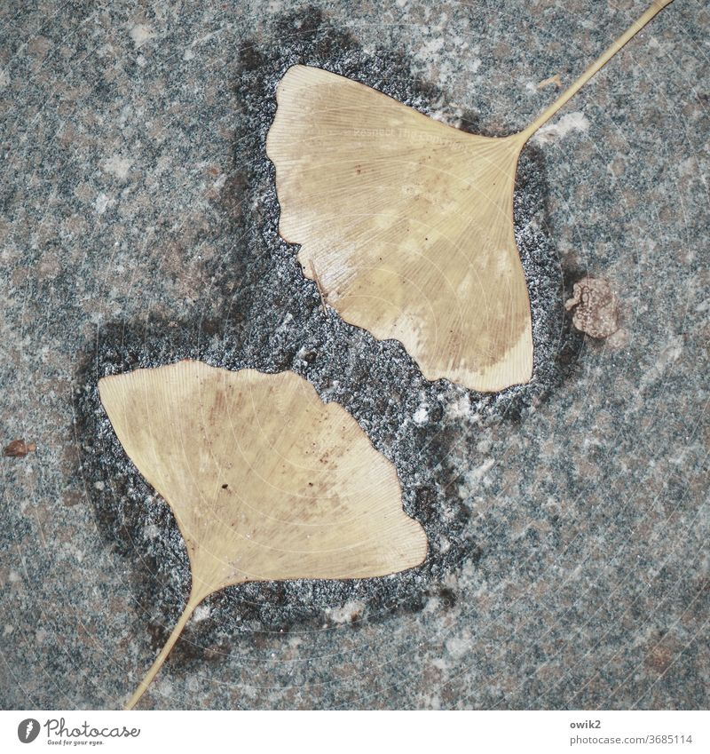 Gink & Co leaves Under Opposite Ginko ginkgo leaf Identical Friends Together in common In love Friendship Exterior shot 2 at the same time Family & Relations