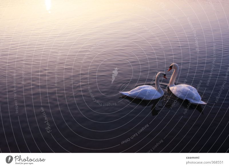 swan lake Water Sunrise Sunset Swan Pair of animals Observe To enjoy Swimming & Bathing Wait Esthetic Free Together Beautiful Kitsch Clean Blue Violet
