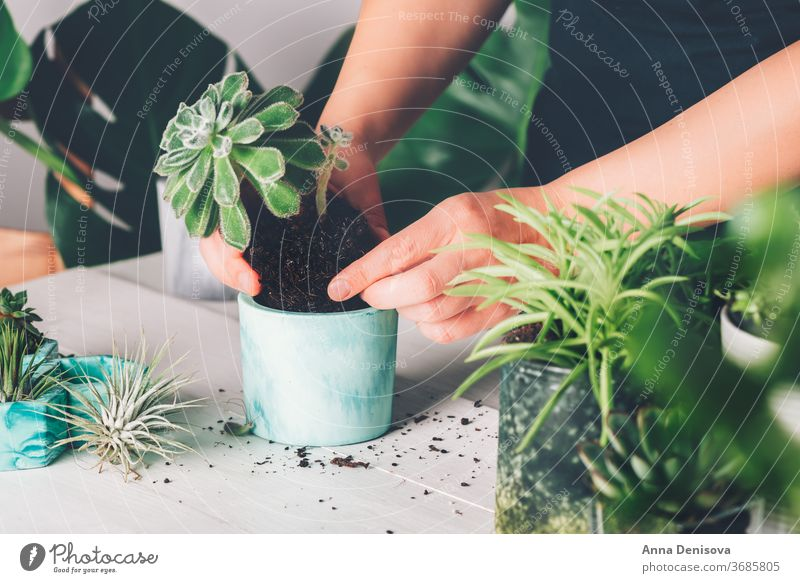 Woman is planting succulent plant in the new planter pot monstera woman interior house gardening diy cacti hands marble effect Houseplant Succulent Plant