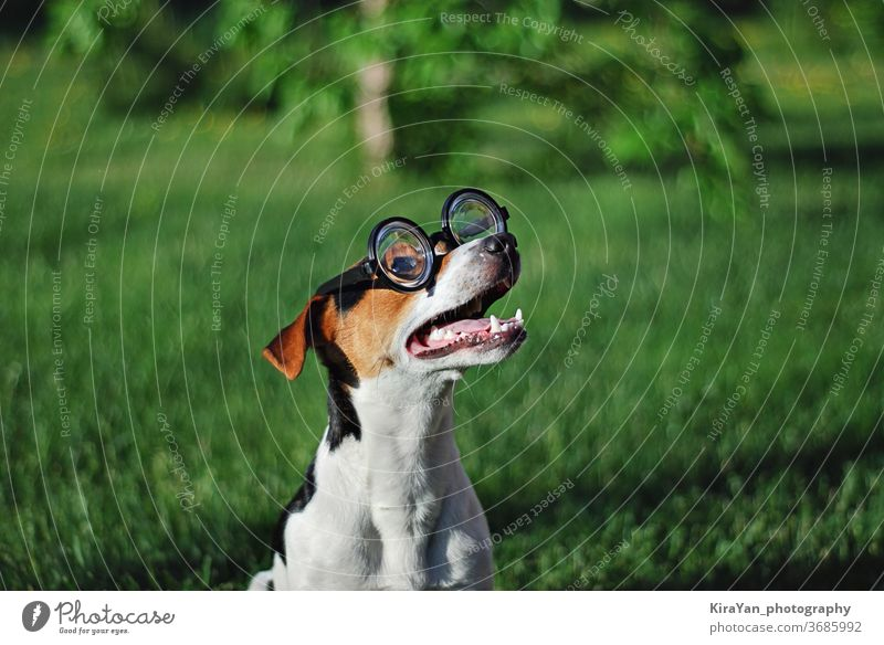 Dog in round reading glasses with open mouth dog summer playful action active activity adorable adult agility animal april fools day bespectacled cute doggy